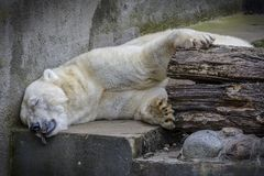 White Bear sleep in not his habitat. White Bear sleep and almost dying cause global warming stock images