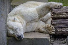 White Bear sleep in not his habitat. White Bear sleep and almost dying cause global warming stock photos