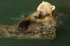White bear. Swimming in lake Stock Photography