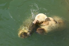White bear. Swimming in water with a chump Royalty Free Stock Photos