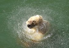 White bear. Taking a shower Stock Photos