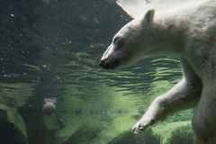 White bear underwater at the zoo. Portrait of white bear underwater at the zoo stock image