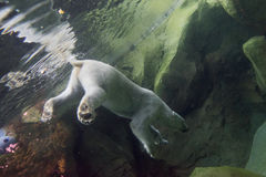 White bear underwater at the zoo. Portrait of white bear underwater at the zoo royalty free stock image