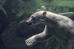 White bear underwater at the zoo Stock Images