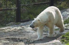 White bear walking in the grass. Portrait of white bear walking in the grass stock images