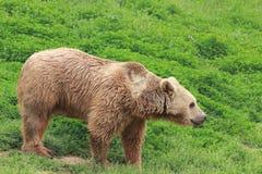White bear. Walking on the grassland royalty free stock photo