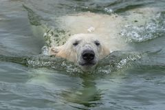 White bear. In water, snorting, portrait stock image
