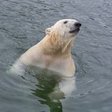 White bear. In water, snorting, portrait royalty free stock image