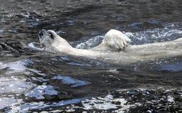 White bear in the water swim backstroke. Polar bear relax stock photo