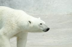 White bear. Goes for walk Royalty Free Stock Image