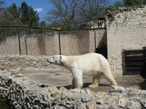 White bear. Walking on the sunshine. Good morning! Sunny sping day in zoo royalty free stock image