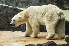 White bear in the zoo Royalty Free Stock Photography