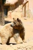 White bear in Zoo, Tabernas, Almeria. Bear in Oasys, Mini Hollywood, Tabernas, Almeria Royalty Free Stock Photography