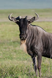 White-bearded gnu Royalty Free Stock Images