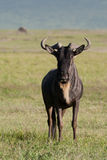White bearded gnu Royalty Free Stock Images