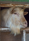 White bearded hornless goat looks out the window Royalty Free Stock Photos