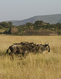 White-Bearded Wildebeest Stock Images
