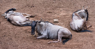 White-bearded wildebeest Royalty Free Stock Images