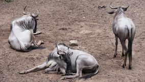 White bearded wildebeest. Eastern white-bearded wildebeest relaxing in zoo. Small group of Gnu lying on the ground stock video