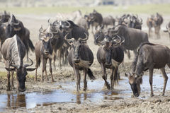 White Bearded Wildebeest on the migration drinking water. Tanzan Royalty Free Stock Photos
