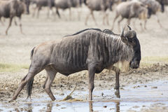 White Bearded Wildebeest on the migration. Tanzania Royalty Free Stock Images
