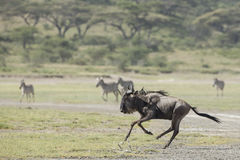 White Bearded Wildebeest running, Tanzania Royalty Free Stock Image
