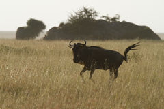 White-Bearded Wildebeest VI Royalty Free Stock Photos