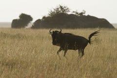 White-Bearded Wildebeest VI Royalty Free Stock Photos
