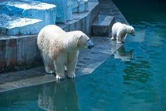 White bears Stock Images