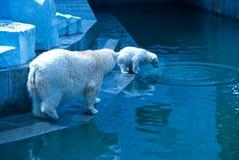 White bears Royalty Free Stock Image