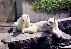 White bears Royalty Free Stock Images