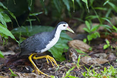 White-beasted Waterhen Royalty Free Stock Image