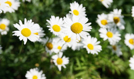 White beautifu chamomiles. On the green backgroun Royalty Free Stock Photos
