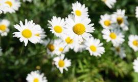 White beautifu chamomiles Royalty Free Stock Photos