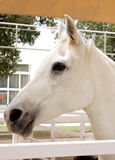 A white beautiful arabian horse Royalty Free Stock Photography