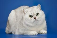 White beautiful British cat on studio background