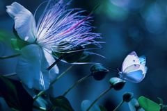 White beautiful butterflies against a background of tropical flowers. Natural summer spring artistic macro image. A beautiful back light. Blue and white color royalty free stock images