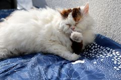 Selkirk rex cat lying on blanket licking her paws Royalty Free Stock Image