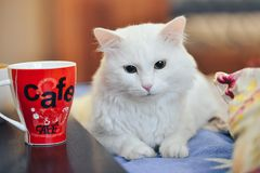 White beautiful cat drinking tea from a mug. Lying on the couch Royalty Free Stock Photo