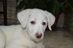 White beautiful dog Royalty Free Stock Images
