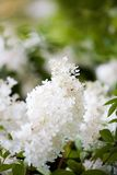 White beautiful flower Royalty Free Stock Photos