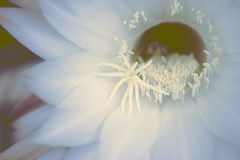 White beautiful flower. Cactus in summer. Closeup. Royalty Free Stock Photo