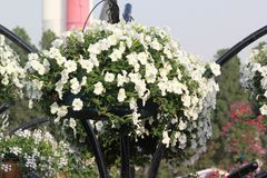 White Beautiful flower in Dubai Miracle Garden,UAE on 21  February 2017. White petunias in the garden looks so bright and  Beautiful petunia flowers bloom in Stock Image
