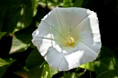 Ipomoea. A white beautiful flower ipomoea on the meadow royalty free stock photos