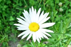 White Beautiful Flower Picture taken somewhere in Himachal. Pradesh stock image