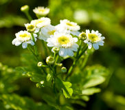 White beautiful flowers. On the green backgroun Royalty Free Stock Photo
