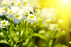 White beautiful flowers. On the green background Royalty Free Stock Photography