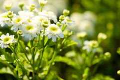 White beautiful flowers. On the green background Royalty Free Stock Images