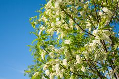 White beautiful flowers on blue sky background. Cherry branches with flowers royalty free stock images