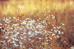 White beautiful flowers in dry grass in sunny Stock Photo